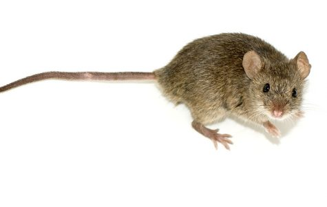 Mice Invade Dillon Residence Hall