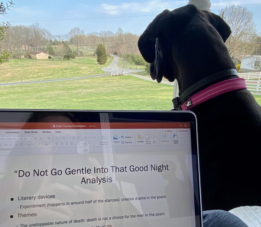 "Sophomore Katie Baker's dog, Marlie, likes to hang around Baker during her online class meetings. ""Marlie is one of the things I miss most when I'm away from home, so it's great to get more time with her,"" said Baker. ""She makes doing homework much more lively."""