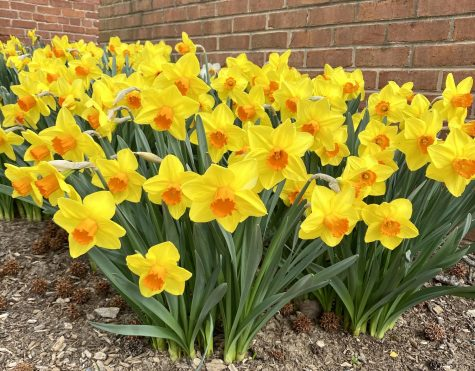Daffodil (To Belong and Bloom)